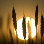 Orosz búza hiszti jöhet, a búza árfolyamában
