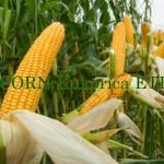 Kukoricázik a Tengeri